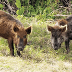 potential problems with feral hogs hsvpoa