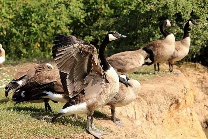 please stop feeding the canada geese in hot springs village